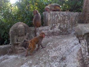 Templul maimutelor...